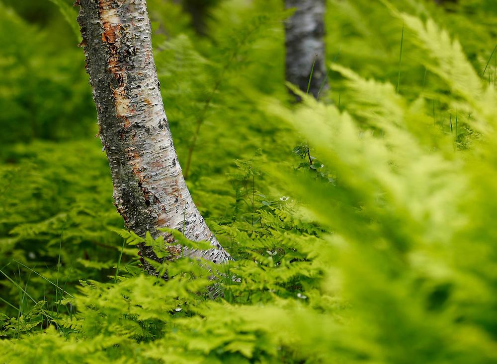 Norway - Birchwood detail II