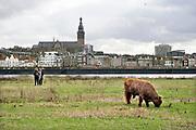 Nederland, Nijmegen, 3-2-2019 Wilde runderen grazen op het Lentereiland, Veur Lent, het eiland dat is ontstaan door de aanleg van de nevengeul tegenover de stad. Natuurbegrazing door het uitzetten van Schotse Hooglanders. De grazers lopen op de oever en houden de begroeing laag en divers. Ze zijn uitgezet door de stichting Taurus die zich ook bezighoudt met het terugfokken van het Europese oerrund, de oerkoe. .Foto: Flip Franssen