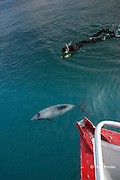 Hector's dolphin, Cephalorhynchus hectori, and snorkeler on swim-with-dolphin tour, Endangered Species, endemic to New Zealand, Akaroa, Banks Peninsula, South Island, New Zealand ( South Pacific Ocean )