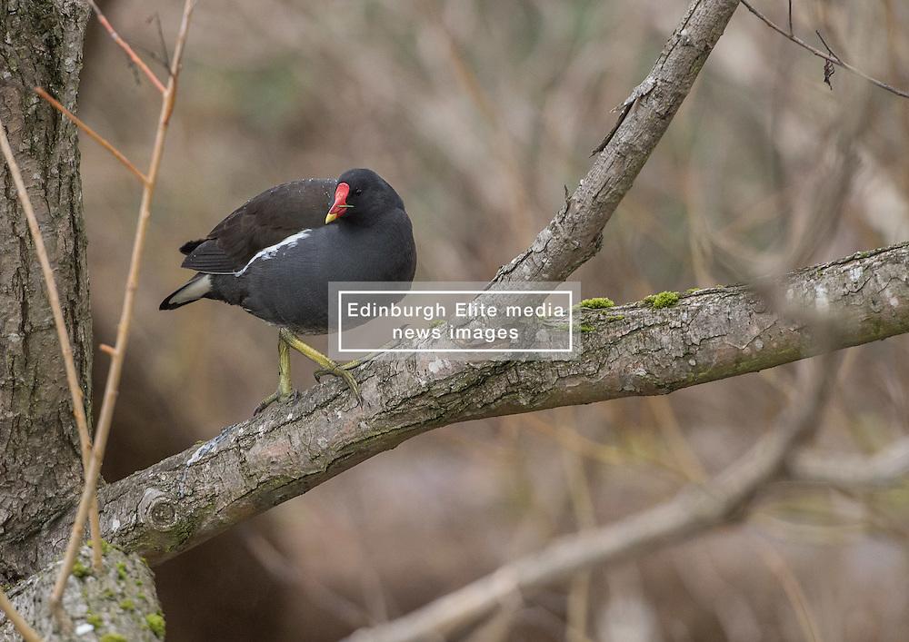 Bird in Figgate Park, Portobello, Edinburgh Pictured: Moorhen<br /> <br /> <br /> © Jon Davey/ EEm