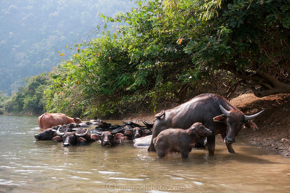 Kayaking on the Nam Song River near Vang Vieng, Laos. water buffalo.