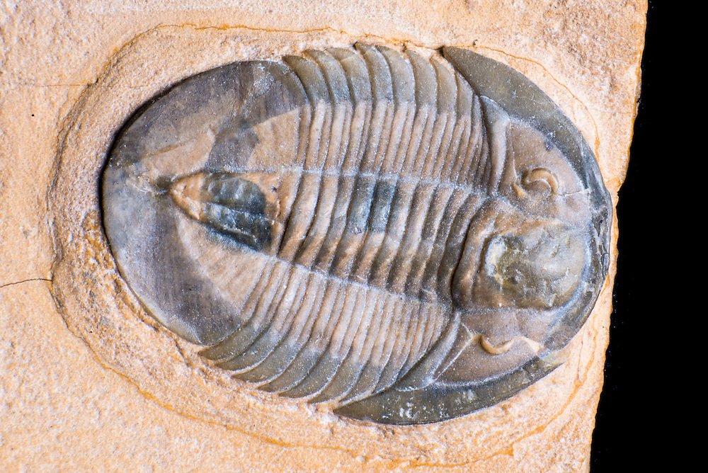 Meniscopsia beebei (sagittal length: 27mm), previously known as Selenocoryphe platyura, is a rare Middle Cambrian ptychopariid trilobite collected from the Weeks Formation in the House Range, Millard County, Utah.