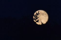 Super Moon as seen in Hamden CT on 12 July 2014. Trees in foreground in focus. Camera: Nikon Df, image cropped.