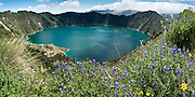 """Lupine flowers bloom above beautiful Lake Quilotoa, Ecuador, South America. Quilotoa, a tourist site of growing popularity, is a scenic water-filled caldera that is the westernmost volcano in the Ecuadorian Andes. The 3 kilometers (2 mile) wide caldera (diameter about 9km) was formed by the collapse of this dacite volcano following a catastrophic VEI-6 eruption about 800 years ago, which produced pyroclastic flows and lahars that reached the Pacific Ocean, and spread an airborne deposit of volcanic ash throughout the northern Andes. The caldera has since accumulated a 250 meter (820 foot) deep crater lake, which has a greenish color from dissolved minerals. Fumaroles are found on the lake floor and hot springs occur on the eastern flank of the volcano. The route to the """"summit"""" (the small town of Quilotoa) is generally traveled by hired truck or bus from the town of Zumbahua 17 km to the South. Lupinus is a genus in the pea family (also called the legume, bean, or pulse family, Latin name Fabaceae or Leguminosae). Panorama stitched from 9 overlapping images."""