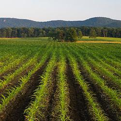 Rows of corn seedlings in Hadley, Massachusetts.  The Holyoke Range is in the distance.
