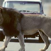 African Lion, (Panthera leo) Mature male in Kalahari crossing road. Africa.