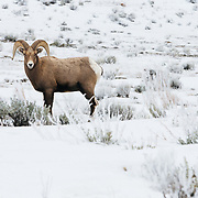 A bighorn sheep ram, Ovis canadensis, walking in the snow.
