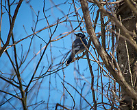 Blue Jay. Image taken with a Nikon D2xs camera and 80-400 mm VR lens (ISO 100, 400 mm, f/5.6, 1/500 sec).