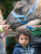 UNITED KINGDOM, London: 30 July 2019<br /> A young visitor isn't too sure as he watches others feed Ande the Lama at London Zoo's new Animal Adventure Playpark. The new and exciting nature-inspired adventure-play destination officially opens to the public tomorrow on July 31st 2019.<br /> Credit: Rick Findler / Story Picture Agency
