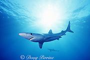 blue shark, Prionace glauca, Channel Islands National Marine Sanctuary, California, USA ( Eastern Pacific Ocean )