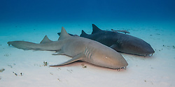 A pair of Nurse Sharks,  Ginglymostoma cirratum, display notable differences in coloration. Bimini, Bahamas, Atlantic Ocean