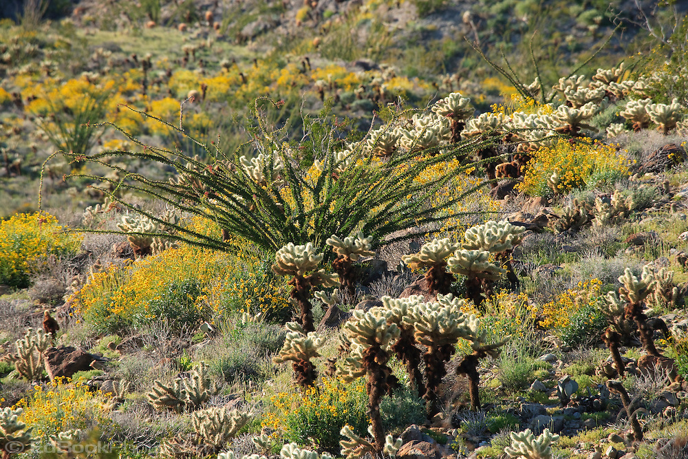 Brittlebush (Encelia farinosa), Cholla (Opuntia fulgida), and Ocotillo (Fouquieria splendens) in springtime on the mountainsides, Anza Borrego Desert, California, USA