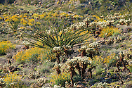 Brittlebush (Encelia farinosa), Cholla (Opuntia fulgida), and Ocotillo (Fouquieria splendens) in springtime on the mountainsides, Anza Borrego Desert, California, USA