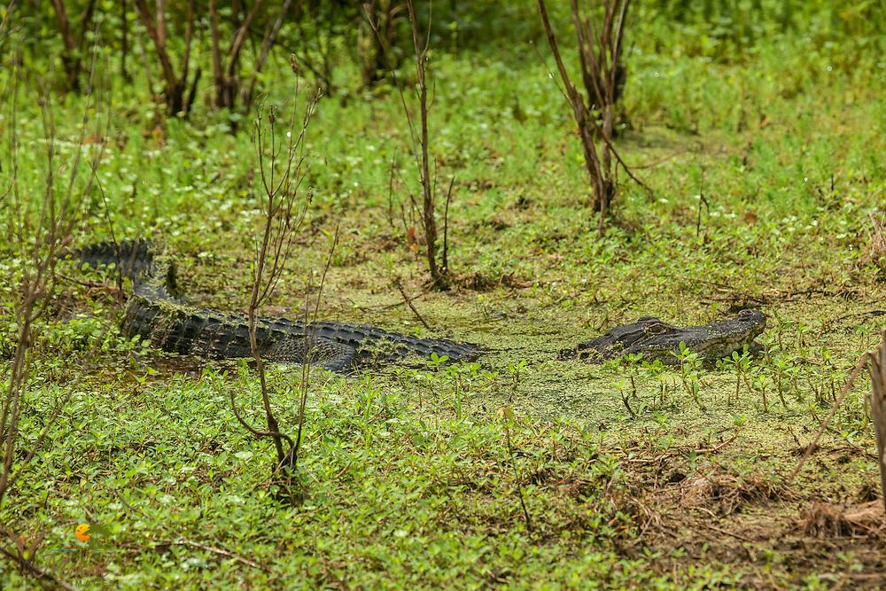 Partially submerged alligator in bog at Botany Bay Plantation, Sc