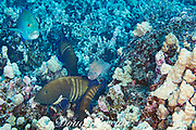 a hunting coalition consisting of peacock groupers, aka blue-spotted grouper, Cephalopholis argus, a bluefin jack or bluefin trevally, Caranx melampygus, and a whitemouth moray eel, Gymnothorax meleagris; Honokohau, North Kona, Big Island, Hawaii, USA; the groupers and jacks station themselves to block openings in the reef as the eel hunts inside; all parties benefit from increased hunting success