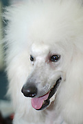 standard white poodle close up of face