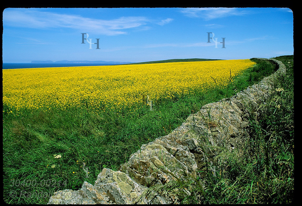 Old drystone wall borders bright yellow canola field with Orkney Islands in distance; Thurso. Scotland