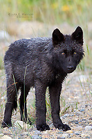 Gray Wolf in Canadian Rockies
