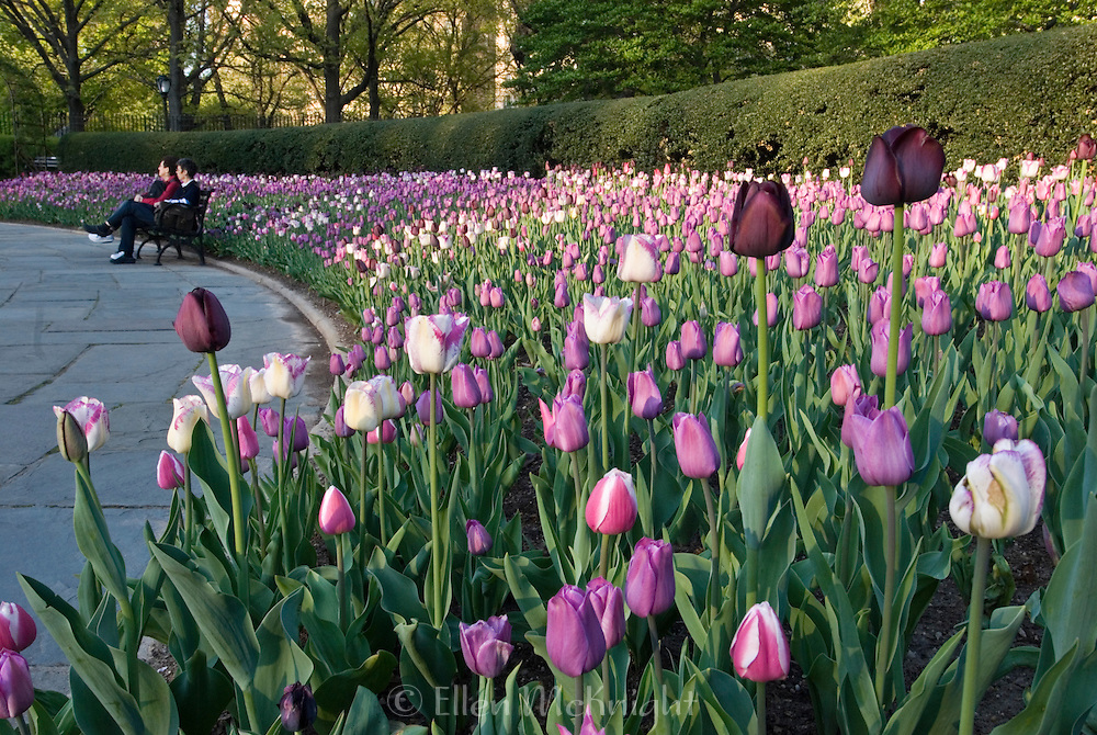 Spring Tulips at the Conservatory Garden in Central Park