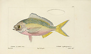 Caesio from Histoire naturelle des poissons (Natural History of Fish) is a 22-volume treatment of ichthyology published in 1828-1849 by the French savant Georges Cuvier (1769-1832) and his student and successor Achille Valenciennes (1794-1865).