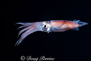 enope squid or eye-flash squid, Abralia veranyi (family Enoploteuthidae ), lives in mid-depths of open ocean but comes into shallow water at night, Bahamas ( Western Atlantic Ocean )