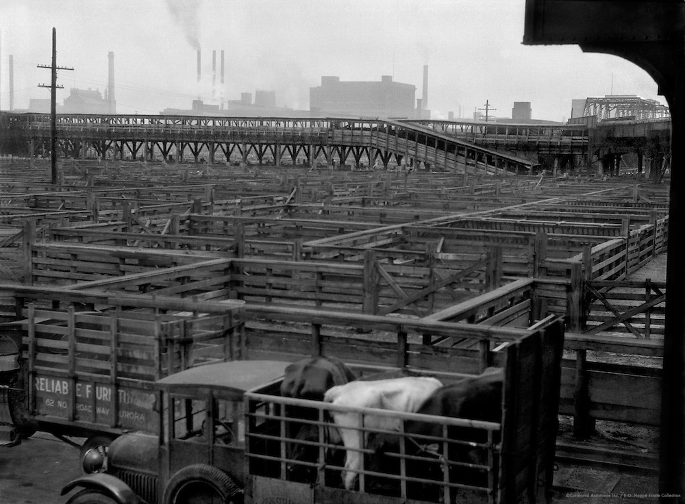 Cattle Being Transported, Stock Yards, Chicago, Illinois, 1926