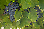 Black grapes hanging on the vine in summer, Provence, france
