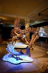 15.03.2016, Museum fuer Naturkunde, Berlin, GER, Naturkundemuseum Berlin, im Bild Das weltweit einmalige Skelettnachbildung eines (Spinosaurus aegyptiacus), groesster bisher bekannter Raubsaurier // Exhibits in the Natural History Museum Museum fuer Naturkunde in Berlin, Germany on 2016/03/15. EXPA Pictures © 2016, PhotoCredit: EXPA/ Eibner-Pressefoto/ Schulz<br /> <br /> *****ATTENTION - OUT of GER*****