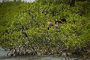 Double-crested cormorants (Phalacrocorax auritus) nesting in red mangrove on the ragged keys. Biscayne Bay Naitonal Park, Florida.