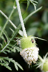 29 Jul 2011:  Teasel.  To most it is a weed, but it also blooms and looks like a flower.  Seen here at Comlara Park in McLean County Illinois