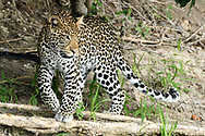 Leopard on patrol along steep embankment pauses and turns, one foot on a fallen tree one foot raised, Chobe National Park, Botswana, © David A. Ponton