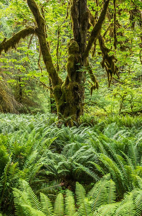 Hoh Rain Forest, Olympic National Park, Washington, USA.