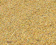 Close up of rice drying for a local Cambodia farmer.