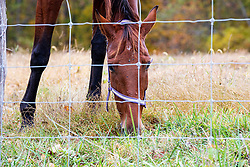 A horse stands in a pasture eating grass behind a fence