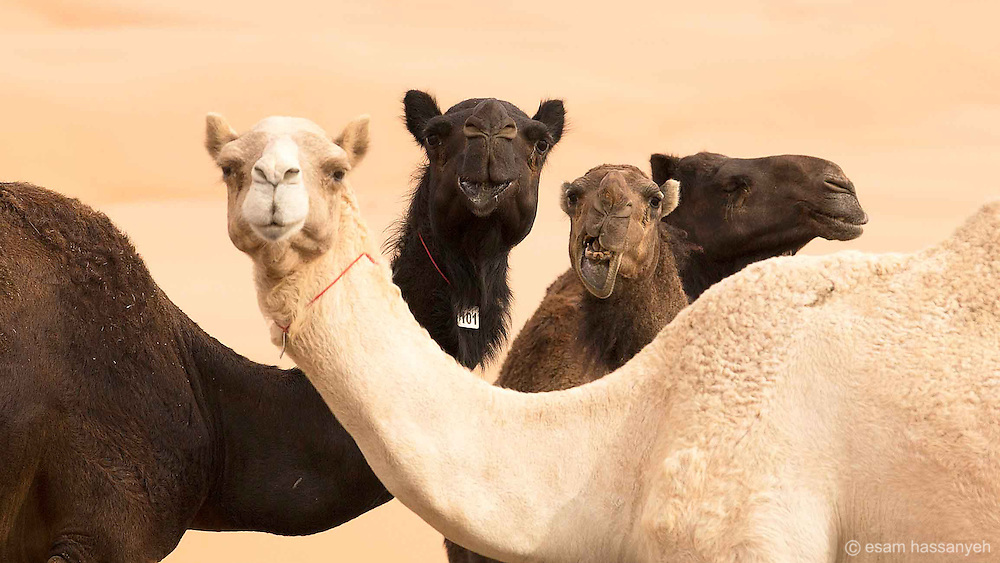 Camel portrait in the deserts of Abu Dhabi.