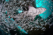 Sand tiger shark, Shipwreck