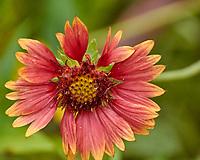 Blanket Flower (Gaillardias). Image taken with a Nikon 1 V3 camera and 70-300 mm VR lens.