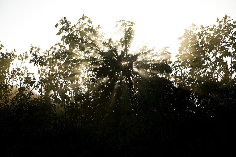 Ibiai_MG, Brasil...Raios do sol na mamoneira (Ricinus communis L.) em Ibiai...The sun rays between the castors oil plant (Ricinus communis L.)...Foto: LEO DRUMOND /  NITRO