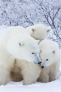 01874-11710 Polar Bears (Ursus maritimus) female and 2 cubs, Churchill Wildlife Management Area,  MB