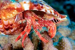 jeweled anemone hermit crab, Dardanus gemmatus, inhabits Triton's Trumpet shell with anemone, Calliactis polypus, attached for defense, Kona, Big Island, Hawaii, Pacific Ocean