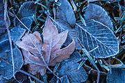 Fallen Leaf in Yosemite Winter