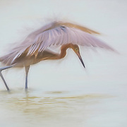 Reddish egret (Egretta rufescens) shades water with magnificent wings while feeding. Painted effects blended with original photograph. North American Nature Photography Association (NANPA} 2017 Showcase Top 100, published in NANPA Expressions journal, Feb. 2017. NANPA website homepage feature, Feb. 6-12, May 15-21, Aug. 28-Sep. 3 and Dec. 4-10, 2017.