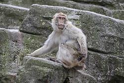 THEMENBILD - Der Berberaffe, auch Magot genannt, ist eine Makakenart aus der Familie der Meerkatzenverwandten. Er ist vor allem dafür bekannt, dass er außer dem Menschen die einzige freilebende Primatenart Europas ist, aufgenommen am 19.05.2019 im Tiergarten Schönbrunn in Wien, Österreich // The Barbary Macaque, also called Magot, is a macaque species of the family of Meerkats relatives. Above all, he is known for being the only free living primate species in Europe apart from humans, pictured on 2019/05/19 at the Tiergarten Schönbrunn at Vienna, Austria. EXPA Pictures © 2019, PhotoCredit: EXPA/ Lukas Huter