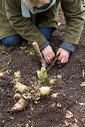 Taking Crambe cordifolia root cuttings. Unearthing roots suitable for taking cuttings