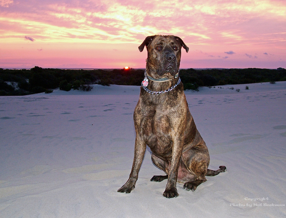 This shot was taken on the Outer Banks, NC at sunset. Diesel, a Lab/Mastiff mix was looking very noble.