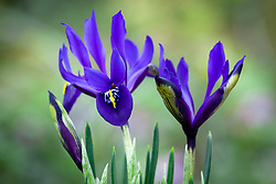 Iris 'Blue Note' - Reticulata