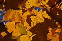 Autumn Leaves in Columbus, Ohio