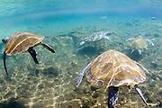 Swimming with the turtles at Satoalepai, Savaii, Western Samoa