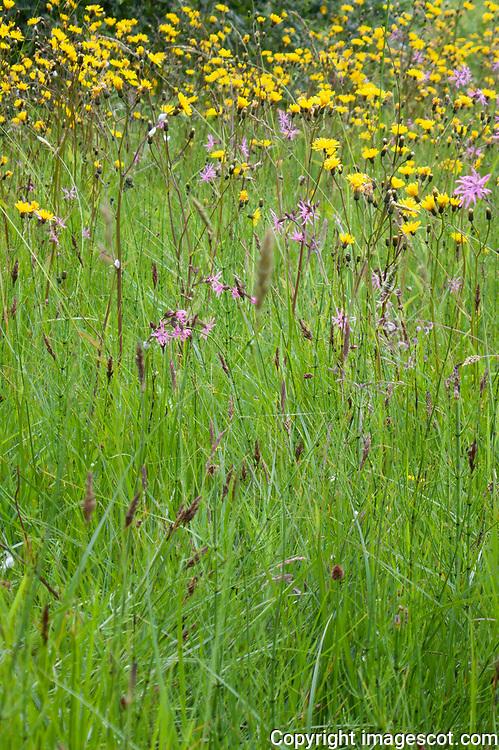 Wildflowers, Rough Hawk's-beard, Ragged Robin