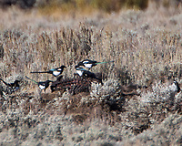 Black-billed Magpie (Pica hudsonia) feeding on a dead Grisly Bear. Yellowstone National Park, Wyoming. Image taken with a Nikon D2xs camera and 200-400 mm f/4 VR lens with a 2.0x teleconverter.